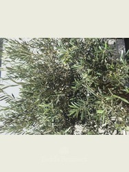 Ancient Olive Tree  1707650A