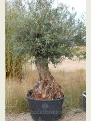 Ancient Olive Tree 17051595A