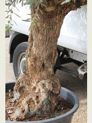 Old Olive Tree 1707595B