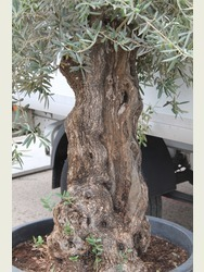 Ancient Olive Tree  1707695E